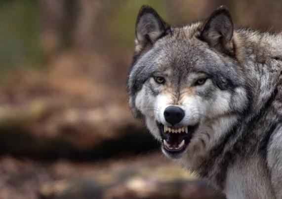 الإطاحة بقاتل ذئب قرب محمية بالرياض