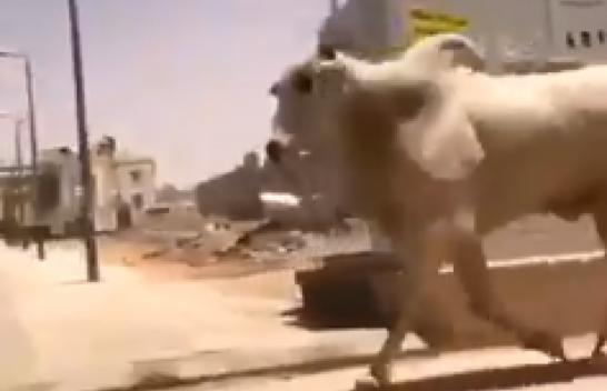 شاهد.. ثور هائج يثير الذعر في شوارع الرياض