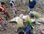 """ماليزيا : العثور على """"بقايا صبي"""" داخل بطن تمساح"""