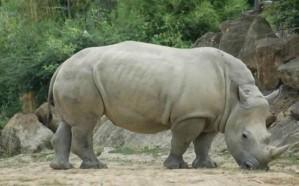 محمية كينية: نفوق آخر ذكر في العالم من وحيد القرن الأبيض الشمالي