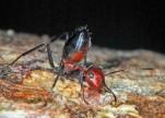اكتشاف نوع جديد من «النمل».. يضحي بحياته عند الخطر