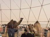 فيديو.. ناقة في مهرجان الإبل تدخل موسوعة غينيس