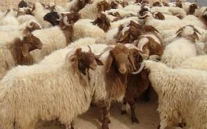 243 ألف رأس من الأغنام و351 من البقر من الهدي والأضاحي تذبح في أول أيام النسك