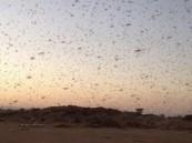 أسراب ضخمة من الجراد تجتاح محافظة القريات
