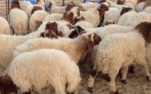 السماح بتصدير أكثر من 18 ألف رأس من الماشية خلال 7 أشهر
