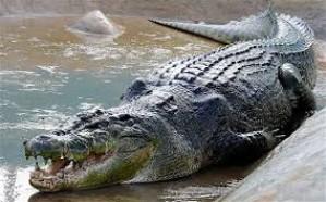 تمساح طوله أربعة أمتار يلتهم لاعب جولف في جنوب أفريقيا