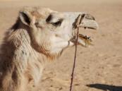 """الإمارات تحظر استيراد الإبل بسبب """"كورونا"""""""