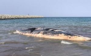 فيديو.. لحظة إخراج حوت نافق من أحد الشواطئ في عسير