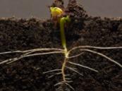 فيديو مدهش يرصد مراحل نمو نبات داخل التربة كل 9 دقائق