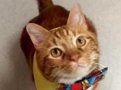 قط يتبع حمية غذائية ويمارس الرياضة فيخسر أكثر من نصف وزنه- صور