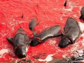 بالصور – مجزرة لـ 250 حوتًا تحول شاطئ دنماركي إلى بركة دماء