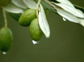 فوائد علاجية مذهلة لأوراق شجرة الزيتون