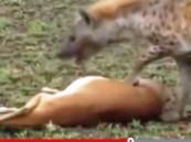 بالفيديو.. غزال ذكي يتظاهر بالموت للفرار من ضبع جائع
