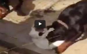 شاهد .. شخص يطعم قطة حية لكلاب مفترسة