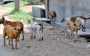 ١٢٠٠ كبسولة شهريا للتخلص من الكلاب الضالة بالطائف