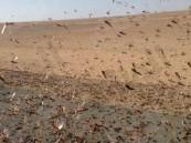 الجراد الصحراوي يصل مكة والمدينة.. والبيئة تكثف جهودها لمكافحته