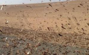 """المملكة توصي بتفعيل صندوق طوارئ لمواجهة """"الجراد الصحراوي"""""""