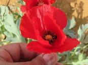 الصحة تحذّر: أزهار الديدحان سامة وخطيرة