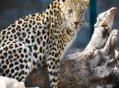 ولادة صغيرين جديدين من النمور العربية