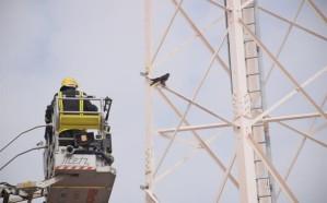 """بالصور.. """"مدني الرياض"""" ينقذ صقراً علق بأحد أبراج الاتصالات"""