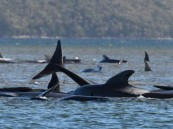 أستراليا : نفوق 380 من الحيتان العالقة عند خليج في تاسمانيا