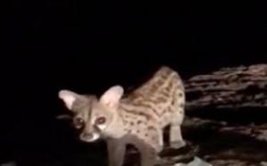"""""""الحياة الفطرية"""" تعلق على فيديو العثور على حيوان مُهدد بالانقراض"""