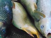 رفع تعليق استيراد أسماك الصيد البحري (غير المستزرع) من فيتنام
