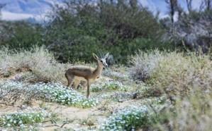 الهيئة الملكية للعُلا تُطلق المجموعة الثالثة من الحيوانات الفطرية في الحِجر