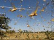 تحذيرات من تشكّل أسراب الجراد الصحراوي في عدة مناطق بالمملكة