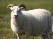 نصائح لشراء «خروف العيد» في زمن كورونا