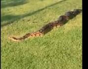 شاهد.. ثعبان ضخم يثير الرعب في حديقة عامة باسكتلندا