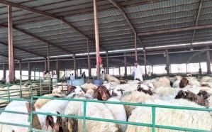 ازدحام بأسواق الماشية مع اقتراب عيد الأضحى.. تعرَّف على الأسعار