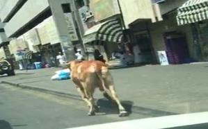 فيديو.. ثور يتجول في الشوارع بالقرب من الحرم المكي
