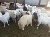 دراسة: لحوم الماشية المطعمة بالمضادات الحيوية تدمر المناعة
