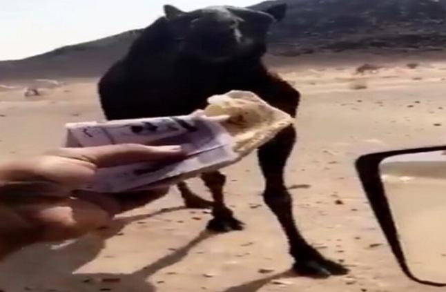 فيديو.. شاب يطعم ناقته 400 ريال!