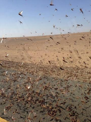 """""""الفاو"""" تحذر من ازدياد أعداد الجراد الصحراوي في المملكة"""