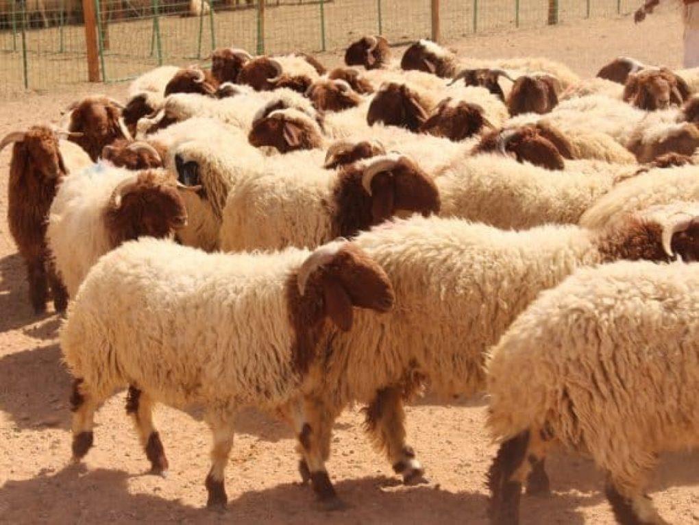 أمانة الرياض تُطلق تطبيقاً لحجز موقع لبيع الأغنام خلال عيد الأضحى