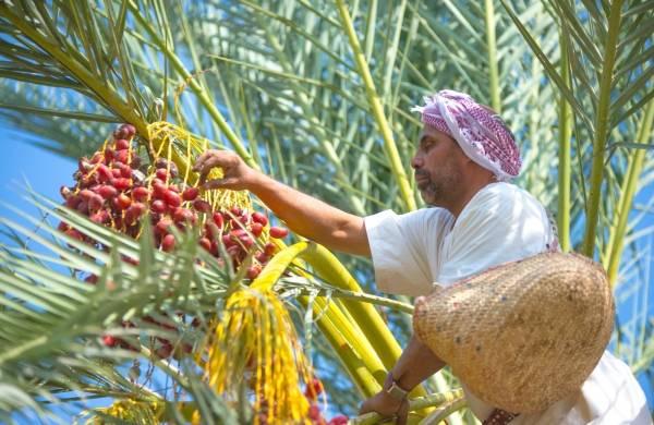 المملكة تستحوذ على 17 % من الإنتاج العالمي للتمور