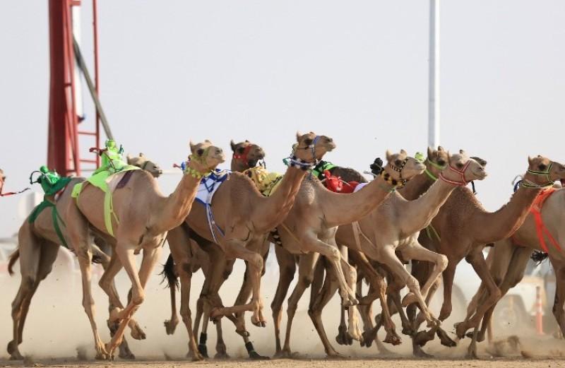 الاتحاد السعودي للهجن يطلق «سباق المفاريد السنوي»