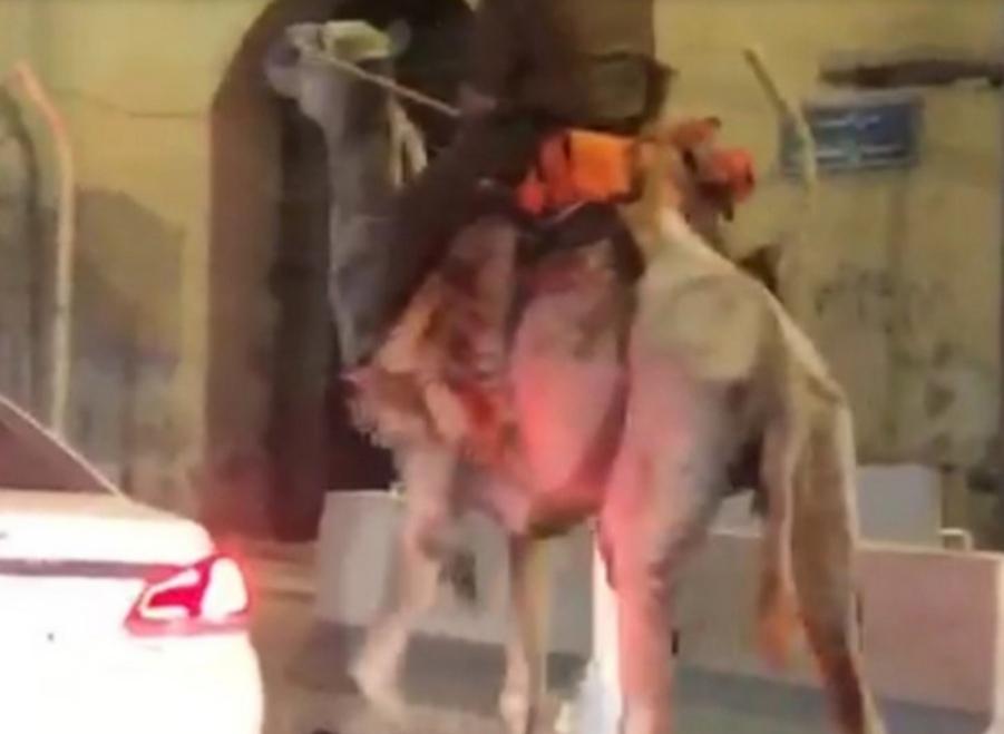 شرطة مكة تعلق على ظهور شخص بزي عسكري ممتطياً جملاً في أحد شوارع العاصمة المقدسة